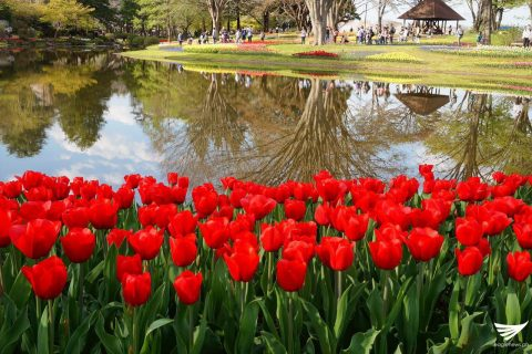 Red tulips by the water. Photo taken at the Showa Kinen Park (Showa Memorial Park) in Japan. (Photo taken by Fleur Amora, Eagle News Service, Japan)