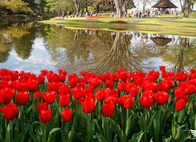 Featured photos:  Red tulips at the Showa Kinen Park in Japan