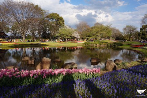 Flowers at the Showa Kinen Park (Photo by Fleur Amora, Eagle News Se3rvice, Japan)