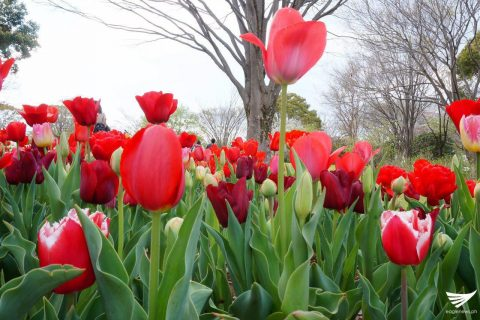 Red tulips at the Showa Kinen Park (Showa Memorial Park) in Japan. (Photo taken by Fleur Amora, Eagle News Service, Japan)