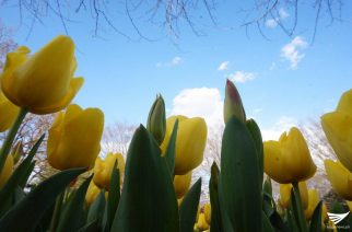 Yellow tulips at the Showa Kinen Park (Showa Memorial Park) in Tachikawa, just over an hour west of Tokyo in Japan.  (Photo taken by Fleur Amora, Eagle News Service, Japan)