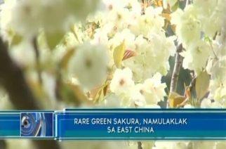 Rare green Sakura, namulaklak sa east China; Milyong tulips namukadkad naman sa US