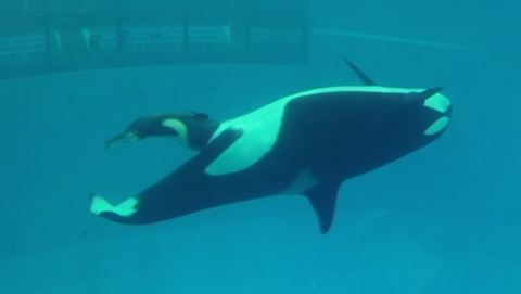 The last killer whale to be born at SeaWorld is delivered at the company's San Antonio park.(photo grabbed from Reuters video)