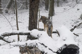 Couple of wolves are pictured the Skansen open air museum during Advent Sunday on November 27, 2016 in Stockholm.   / AFP PHOTO / JONATHAN NACKSTRAND