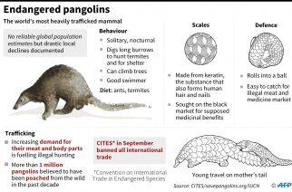 Endangered pangolins