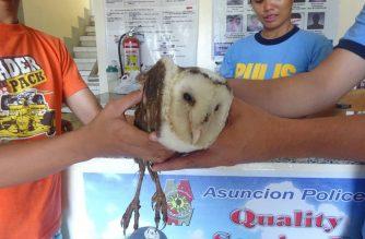 Endangered barn owl natagpuan ng mga bata sa Asuncion, Davao Del Norte