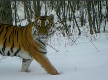 Siberian tigers and Amur leopards are rare-to-be-seen wild animals, even on pictures. But with infrared cameras, more and more live images of these rare wild beasts are seen by the general public in northeast China's Jilin Province. Photo grabbed from Reuters video file.