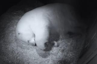 Twin polar bear cubs born at Sea World in Australia