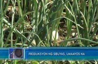 Produksyon ng sibuyas, umaayos na