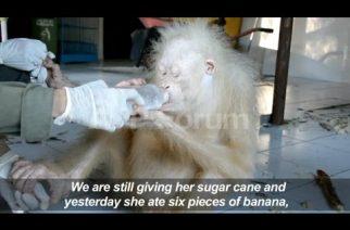 Rescued albino orangutan recovering well in Indonesia