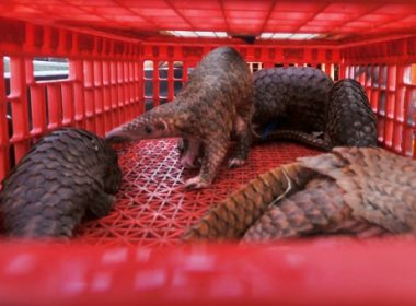 This picture taken on June 13, 2017 shows live pangolins seized by authorities in an anti-smuggling raid in Belawan, North Sumatra. Indonesian authorities have seized hundreds of critically endangered pangolins and scales in a haul worth 190,000 USD after uncovering a major smuggling operation, an official said on June 14. / AFP PHOTO / GATHA GINTING