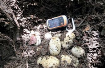 """This handout photo taken on May 8, 2017 released by the Wildlife Conservation Society on June 28, 2017 shows a nest with 19 eggs of world's critically endangered Siamese Crocodile a long a river in Koh Kong province.  A nest with 19 eggs of world's critically endangered Siamese has been found in Cambodia, renewing hopes for the future of the animals in the wild. / AFP PHOTO / WCS-Fisheries Administration / IN HUL / """"The erroneous mention[s] appearing in the metadata of this photo by IN HUL has been modified in AFP systems in the following manner: [WCS-Fisheries Administration] instead of [WCS]. Please immediately remove the erroneous mention[s] from all your online services and delete it (them) from your servers. If you have been authorized by AFP to distribute it (them) to third parties, please ensure that the same actions are carried out by them. Failure to promptly comply with these instructions will entail liability on your part for any continued or post notification usage. Therefore we thank you very much for all your attention and prompt action. We are sorry for the inconvenience this notification may cause and remain at your disposal for any further information you may require."""""""