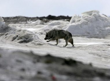 A dog walks along the frozen Arctic Ocean 06 June 2006 in Browerville, Alaska. Scientists continue to study changes in the Earth's climate which many attribute to the emission of greenhouse gases.    Justin Sullivan/Getty Images/AFP    == FOR NEWSPAPER & TV USE ONLY ==