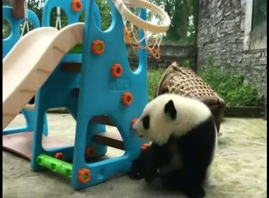 Take a Look: Panda sisters wrestle, play basketball on new playground set