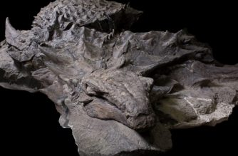 "This recent handout photograph obtained August 2, 2017, courtesy of the Royal Tyrrell Museum of Paleontology shows the well-preserved 110-million-year-old Borealopelta markmitchelli on view at the Royal Tyrrell Museum of Palaeontology in Drumheller, Canada. An analysis of the 18-foot-long (5.5 m) specimen's form, complete with fully armored skin, suggests the creature had predators, despite the fact that it was the ""dinosaur equivalent of a tank,"" weighing in at more than 2,800 pounds (1,300 kg).  / AFP PHOTO / Royal Tyrrell Museum of Paleontology / Royal Tyrrell Museum of Paleontology / RESTRICTED TO EDITORIAL USE - MANDATORY CREDIT ""AFP PHOTO /Royal Tyrrell Museum of Paleontology""  - NO MARKETING NO ADVERTISING CAMPAIGNS - DISTRIBUTED AS A SERVICE TO CLIENTS"