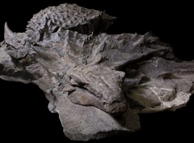 """This recent handout photograph obtained August 2, 2017, courtesy of the Royal Tyrrell Museum of Paleontology shows the well-preserved 110-million-year-old Borealopelta markmitchelli on view at the Royal Tyrrell Museum of Palaeontology in Drumheller, Canada. An analysis of the 18-foot-long (5.5 m) specimen's form, complete with fully armored skin, suggests the creature had predators, despite the fact that it was the """"dinosaur equivalent of a tank,"""" weighing in at more than 2,800 pounds (1,300 kg).  / AFP PHOTO / Royal Tyrrell Museum of Paleontology / Royal Tyrrell Museum of Paleontology / RESTRICTED TO EDITORIAL USE - MANDATORY CREDIT """"AFP PHOTO /Royal Tyrrell Museum of Paleontology""""  - NO MARKETING NO ADVERTISING CAMPAIGNS - DISTRIBUTED AS A SERVICE TO CLIENTS"""