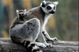 Lemurs hum to help protect them from predators and increase their troop's social cohesion, says a new study that could offer clues to the history of human socialization.(photo grabbed from Reuters video)