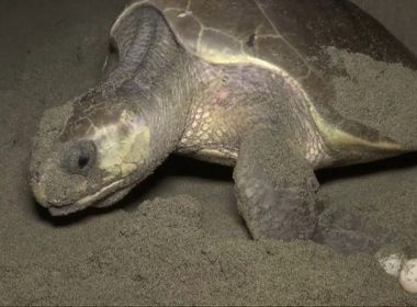 Former endangered sea turtles arrive on Mexico beach to lay eggs