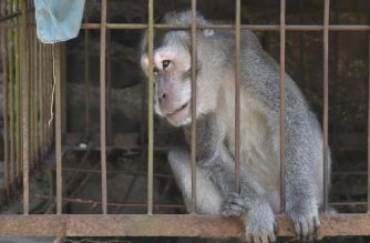 This photograph taken on September 29, 2017 shows a sick monkey in a cage before NGO workers evacuated it from a villager's house in Sideman, an area close to Mount Agung in Karangasem Regency on the Indonesian resort island of Bali. Volunteers are risking their lives to save tens of thousands of animals left at the mercy of a rumbling volcano on the tourist island of Bali, making perilous trips into the red zone to relocate them. / AFP PHOTO / BAY ISMOYO / To go with Indonesia-volcano-Bali,FOCUS by Yulius Martoni
