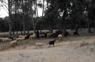 Shepherds grazing their goats and sheep in designated areas of forests to clear them to protect from fires (Photo grabbed from Reuters video)