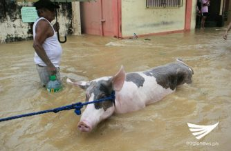A cow and a man wade through the floods in Atimonan, Quezon. Photo by Edgon Gonzales/Eagle News Service