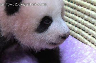 WATCH: Tokyo's baby panda turns three months old