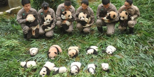 In photo:  Promoting conservation of pandas in China