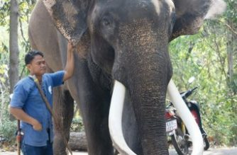 "This undated handout photo released by the Chiang Mai Zoo shows the elephant 'Ekasit', who killed his owner Somsak Riengngen on November 28, 2017, standing next to one of the zoo's elephant handlers in Thailand's northern city of Chiang Mai. An elephant who has appeared in feature films and commercials crushed his owner to death in the northern city of Chiang Mai, zoo officials said on November 28, 2017, setting off fresh debate over the kingdom's animal tourism industry. / AFP PHOTO / Chiang Mai Zoo / Handout / RESTRICTED TO EDITORIAL USE - MANDATORY CREDIT ""AFP PHOTO / CHIANG MAI  ZOO"" - NO MARKETING NO ADVERTISING CAMPAIGNS - DISTRIBUTED AS A SERVICE TO CLIENTS - NO ARCHIVES"
