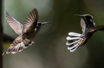 """Two brown violetear hummingbirds (Colibri delphinae) are photographed at the """"Alejandria Farm"""" during bird watching in the framework of Colombia's BirdFair 2017, in a rural area of Cali, Colombia on February 16, 2017.  Colombia is the country with the greatest diversity of birds in the world. / AFP PHOTO / LUIS ROBAYO"""