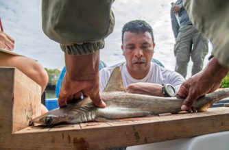 Eduardo Espinoza, head of Galapagos's National Park Marine Ecosystems monitoring team, measures a baby hammerhead shark where a shark nursery was discovered along the coast of Santa Cruz Island in Galapagos, Ecuador, on January 21, 2018.  A group of Ecuadorean scientists discovered a hammerhead shark nursery last November in the Galapagos Islands. The hammerhead shark is an endangered species due to poaching and because of their slow growth, low reproduction rates and late onset of sexual maturity. / AFP PHOTO / Pablo COZZAGLIO