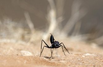 (FILES) This file photo taken on July 13, 2014 shows a black ant near the entrance to an anthill along the Israeli Gaza border. Ants naturally produce powerful germicides against bacteria and fungi, said a study on February 7, 2018, that targeted the industrious insects as possible drug factories for humans. The discovery of ants' pharmaceutical prowess comes as the armoury of effective antibiotics developed by humans over the last 100 years dwindles in the face of growing germ resistance.   / AFP PHOTO / Jack GUEZ