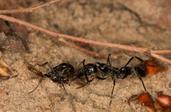 """A handout photo provided by the Royal Society on February 12, 2018 shows Megaponera ants investigating the injuries of another ant.  African Matabele ants dress the wounds of injured soldiers and nurse them back to health, according to an """"astonishing"""" discovery reported on February 14, 2018. After collecting their wounded comrades from the battlefield and carrying them back home, nestmates become medics, amassing around patients for """"intense licking"""" of open wounds, according to a study in the journal Proceedings of the Royal Society B.  / AFP PHOTO / Erik FRANK / RESTRICTED TO EDITORIAL USE - MANDATORY CREDIT """"AFP PHOTO / ROYAL SOCIETY / ERIK FRANK / JULIUS-MAXIMILIANS UNIVERSITAT WURZBURG"""" - NO MARKETING NO ADVERTISING CAMPAIGNS - DISTRIBUTED AS A SERVICE TO CLIENTS"""