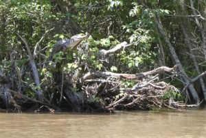 An American alligator perches on a tree branch in the Pearl River Delta, Mississippi, in this undated handout photo received on February 14, 2014. CREDIT: REUTERS/KRISTINE GINGRAS/HANDOUT VIA REUTERS
