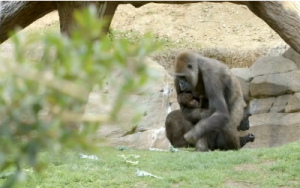 A baby gorilla born via caesarian section finally goes out with mom in San Diego Zoo. (Courtesy Reuters.  Photo grabbed from Reuters video)