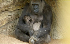 A baby gorilla born via rare Caesarian section ventures outside with its mother at the San Diego Zoo for the first time. (Photo grabbed from Reuters video)