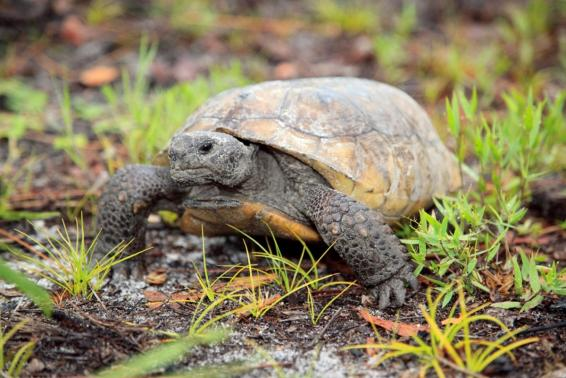 A gopher tortoise moves through freshly sprouted vegetation in this undated handout photo