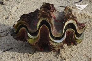 Huge shellfish found in Maniwaya island in Marinduque.  It was one-foot wide.  (Eagle News Service)
