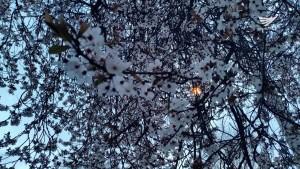 Cherry blossoms in Canada. Photo by Neil Duazo.