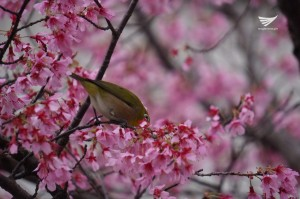 A busy bird as flowers bloom in Japan with the start of spring. (Photo by Fleur Amora)