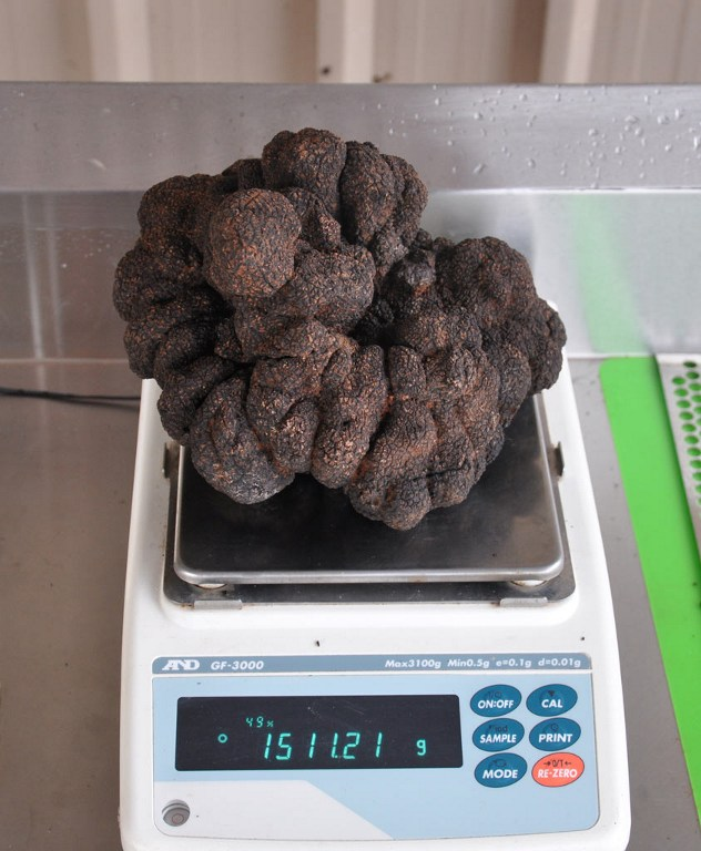 "A hand out photo taken on August 19, 2016 shows a large truffle being weighted by Stuart Dunbar who removed it from the earth on his Victorian property in Yarra Valley. Dunbar has uncovered what is thought to be the largest black truffle ever grown in the country, a 1,511 gram delicacy which could also be a world-beater. / AFP PHOTO / AFP PHOTO AND Stuart Dunbar / Stuart Dunbar / RESTRICTED TO EDITORIAL USE - MANDATORY CREDIT ""AFP PHOTO / Stuart Dunbar"" - NO MARKETING NO ADVERTISING CAMPAIGNS - DISTRIBUTED AS A SERVICE TO CLIENTS =="