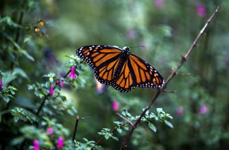 A Monarch butterfly (Danaus plexippus) is pictured at the oyamel firs (Abies religiosa) forest, in Ocampo municipality, Michoacan State in Mexico on December 19, 2016.  Millions of monarch butterflies arrive each year to breed at the oyamel firs forest in Michoacan State, after travelling more than 4,500 kilometres from the United States and Canada. / AFP PHOTO / ENRIQUE CASTRO