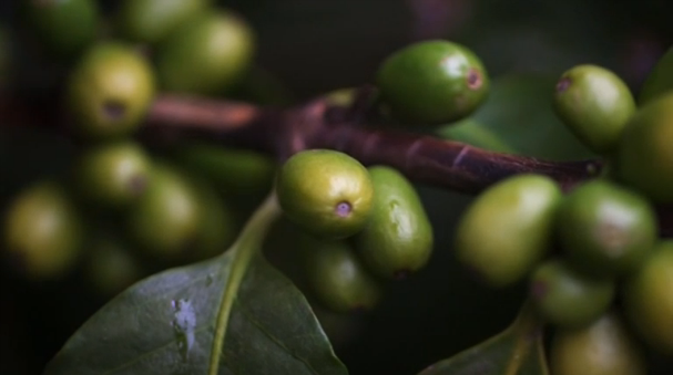 Researchers have mapped the genome for Arabica coffee in an effort to unlock its delicious secrets and protect it against disease and climate change in the future. (Photo grabbed from Reuters video)