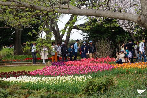 Flower power at the Showa Kinen Park in Japan attracts locals and tourists alike. (Photo by Fleur Amora, Eagle News Service, Japan)