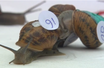 Ready, steady, slow! UK holds world snail racing championship(photo grabbed from Reuters video)
