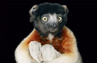 """A crowned sifaka lemur hugs his knees toward his chest on the book cover of Tim Flach's Endangered, Flach used a black velvet backdrop in many of his prints """"because I want you to focus on the animal,"""" he explained to an AFP journalist in Wahington on November 13, 2017.   The collection of more than 150 images featured in """"Endangered,"""" a tome released by US publisher Abrams, spans the spectrum of International Union for Conservation of Nature rankings from not evaluated and vulnerable to critically endangered and extinct in the wild. RESTRICTED TO EDITORIAL USE - MANDATORY MENTION OF THE ARTIST Tim FLACH UPON PUBLICATION - TO ILLUSTRATE THE EVENT AS SPECIFIED IN THE CAPTION / AFP PHOTO / ABRAMS / Tim FLACH / RESTRICTED TO EDITORIAL USE - MANDATORY MENTION OF THE ARTIST Tim FLACH UPON PUBLICATION - TO ILLUSTRATE THE EVENT AS SPECIFIED IN THE CAPTION"""
