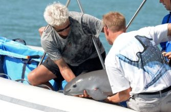 """Handout pictured released by the Mexican Secretary of Environment and Natural Resources (Semarnat) showing scientists with a six-month-old vaquita marina porpoise calf -- the first ever caught as part of a bold program to save the critically endangered species, at the sea of Baja California State, Mexico, on October 18, 2017. The vaquita was released in the same spot it was captured in the Gulf of California -- the only place in the world vaquitas are found following advice of veterinarians because it was too young to be separated from its mother. The vaquita, the world's smallest porpoise, has been pushed to the brink of extinction by gillnets used to illegally fish for another species, the also endangered totoaba fish. / AFP PHOTO / Semarnat / HO / RESTRICTED TO EDITORIAL USE - MANDATORY CREDIT """"AFP PHOTO / SEMARNAT / HO"""" - NO MARKETING NO ADVERTISING CAMPAIGNS - DISTRIBUTED AS A SERVICE TO CLIENTS"""
