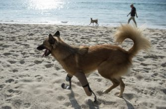 "This photo taken on December 12, 2017 shows Cola the dog walking on the beach with his curved ""blade runner"" prosthetics in Phuket.  Just over a year after he was brutally maimed for gnawing on a neighbour's boots, Cola the canine is romping across a Phuket beach on sleek new paws: curved ""blade runner"" prosthetics modelled after those used by Paralympian sprinters. / AFP PHOTO / LILLIAN SUWANRUMPHA"