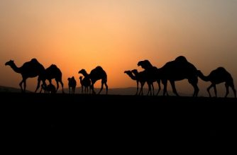 Camels walk in the bedouin hamlet of Khirbet Umm al-Jamal, near Khirbet Jinba in the Jordan valley, on November 13, 2017, after Israeli authorities claimed they will demolish some houses on the land located in part of the Israeli occupied West Bank known as Area C, which is under full Israeli administrative and security control.  / AFP PHOTO / JAAFAR ASHTIYEH