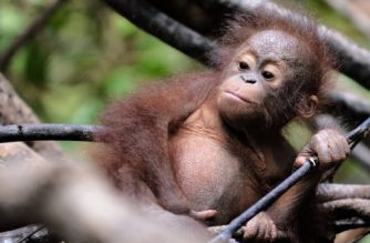 """(FILES) In this file photo taken on August 4, 2016 shows an orphan orangutan baby playing in a tree during """"jungle school"""" at the International Animal Rescue centre outside the city of Ketapang in West Kalimantan. The population of orangutans in Borneo has plummeted by more than half since 1999 -- nearly 150,000 of the apes -- largely due to chopping down forests for logging, paper, palm oil and mining, researchers said on February 15, 2018. Illegal hunting of the critically endangered apes is also a leading factor in their disappearance, said the study published in the journal Current Biology.  / AFP PHOTO / BAY ISMOYO"""