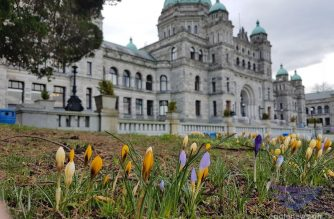 Crocus plants spring on the grounds of the Legislative Building in the city of Victoria, signaling the approaching spring in the Capital of British Columbia, Canada.     (Photo by Jeanette Duazon, EBC correspondent in British Columbia, Canada.  (Eagle News Service)